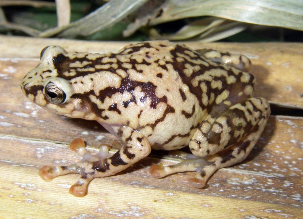 frog by Miguel Vences / TU Braunschweig