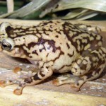 Chytrid Fungus is Found in Madagascar