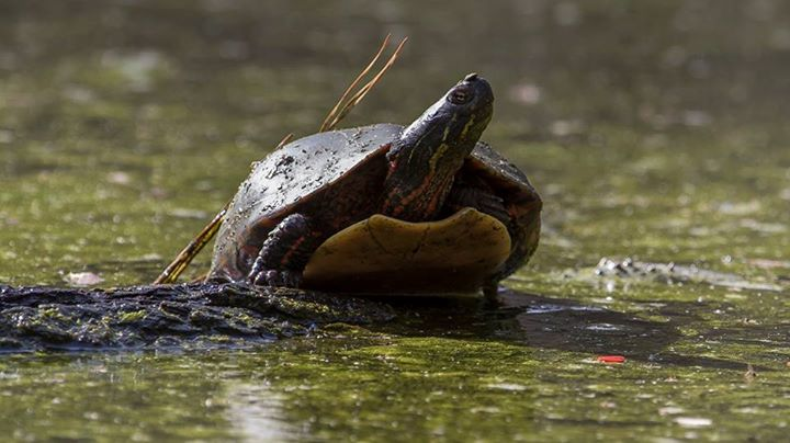 Painted Turtle at Harris Lake in North Carolina, by wildlife photographer Wes Deyton