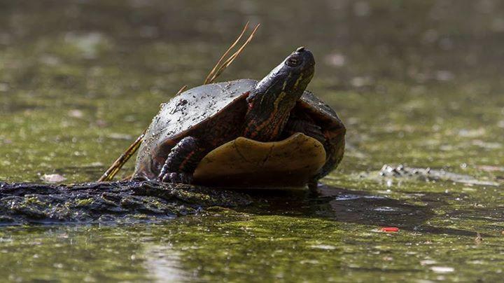 Painted Turtle at Harris Lake in North Carolina, by wildlife photographer Wes Deyton