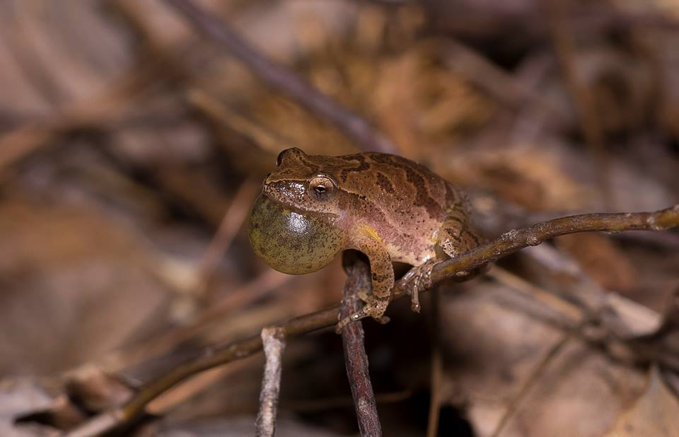 Spring Peeper with full vocal sac by Wes Deyton