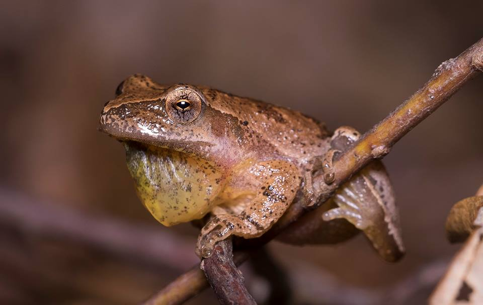 Spring Peeper with retracting vocal sac by Wes Deyton.