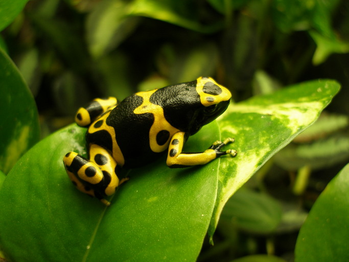 dart frog by devin edmonds