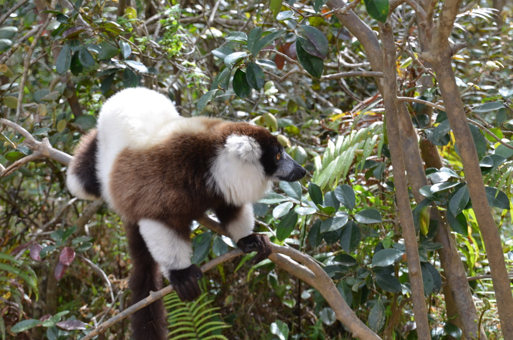 Black and White Ruffed Lemur in Madagascar