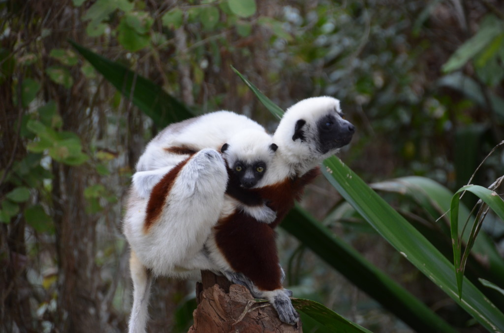 Coquerel's Sifaka mom and baby in Madagascar