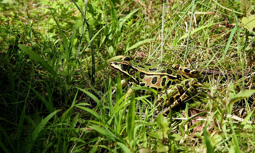 By liz west (leopard frog2) [CC BY 2.0 (http://creativecommons.org/licenses/by/2.0)], via Wikimedia Commons