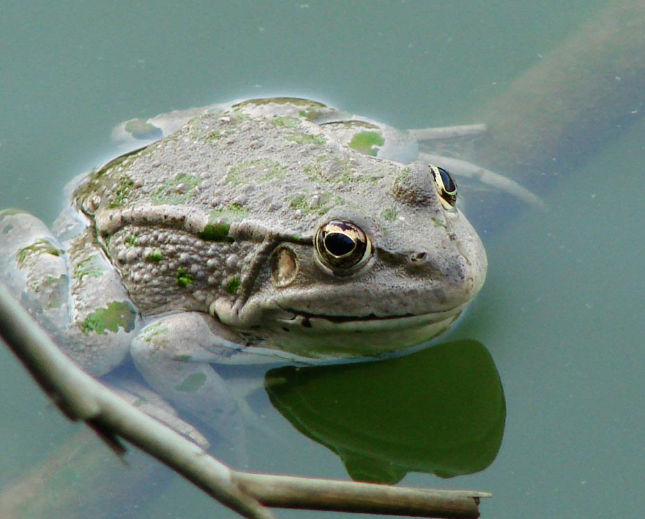 By fa:User:Juybari (fa:File:Frog in Water.jpg) [GFDL (http://www.gnu.org/copyleft/fdl.html) or CC-BY-SA-3.0 (http://creativecommons.org/licenses/by-sa/3.0/)], via Wikimedia Commons