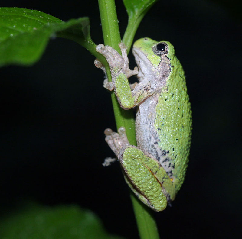 Gray tree frog (Hyla versicolor) by Robert A. Coggeshall on Wikipedia