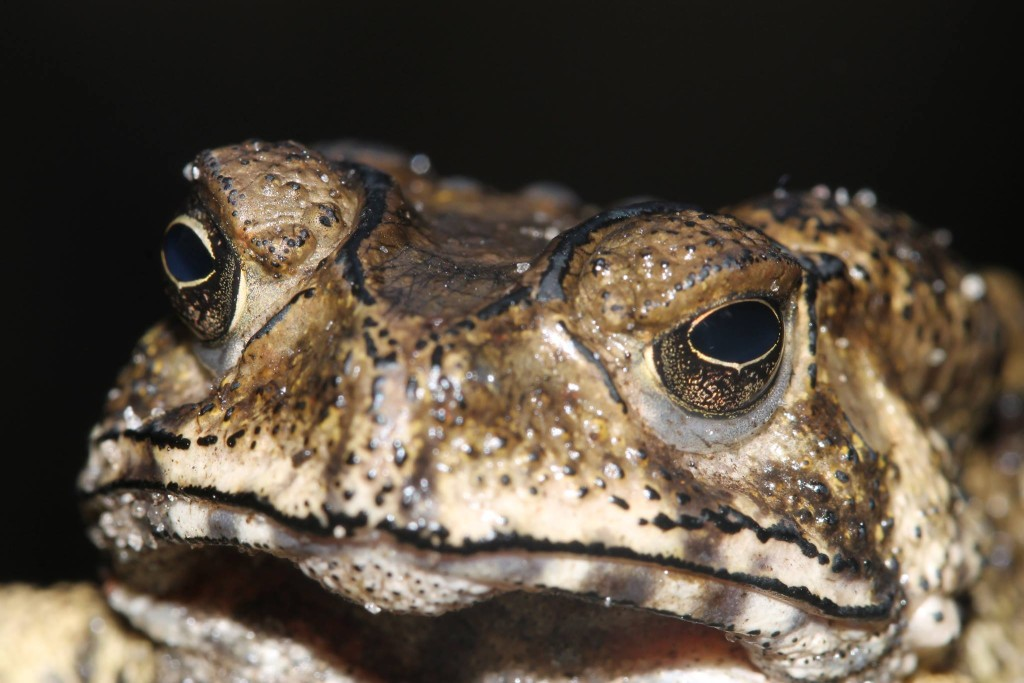 Asian Toad (Duttaphrynus melanostictus) in Madagascar by Franco Andreone, close up