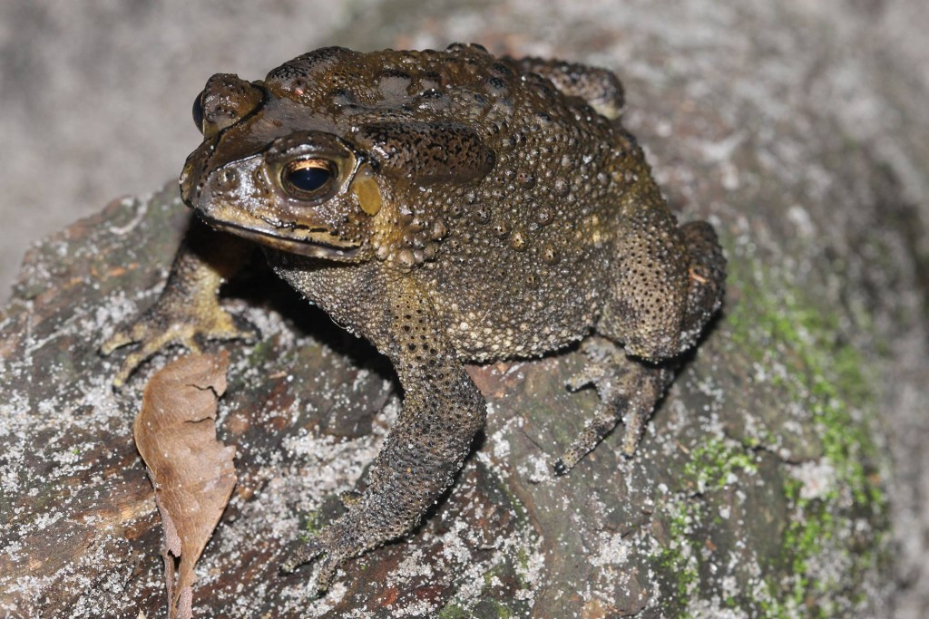 Asian Toad (Duttaphrynus melanostictus) in Madagascar by Franco Andreone.