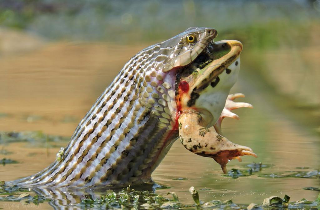 Ajay Singh Rajawat - Checkered Keelback snake swallowing Indian Bullfrog, India