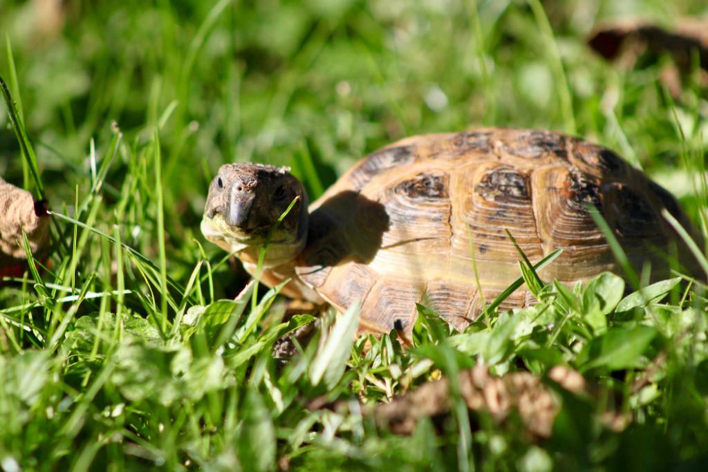 Amanda Gilbert, Loveland, Ohio, turtle
