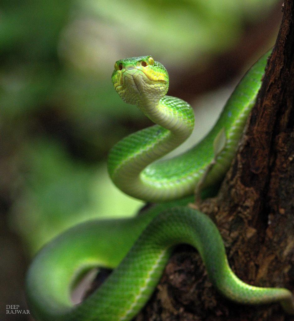 Deep Rajwar - Red-tailed bamboo pit viper