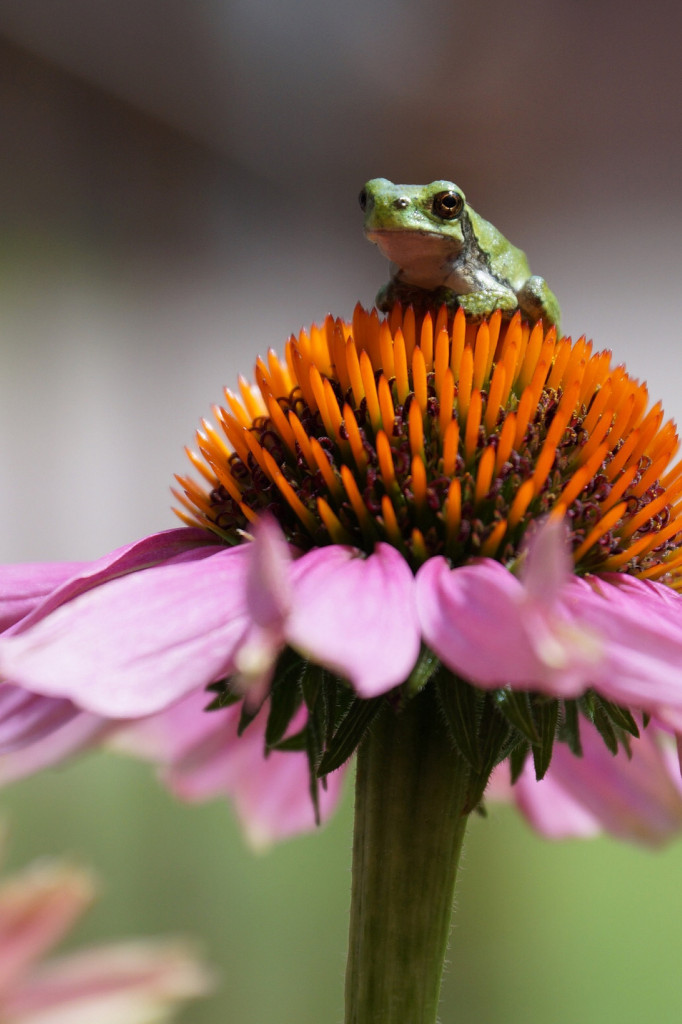 Krukarg-Tree frog on my coneflowers in my front yard near Tomahawk, Wisconsin