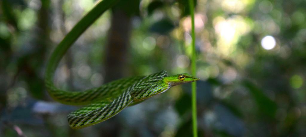 Miriam Christine, striking eyes,  Green Vine Snake (Ahaetulla nasuta)