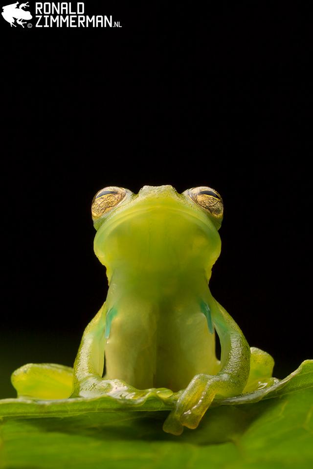Ronald Zimmerman, Emerald Glassfrog (Espadarana prosoblepon), Ecuador