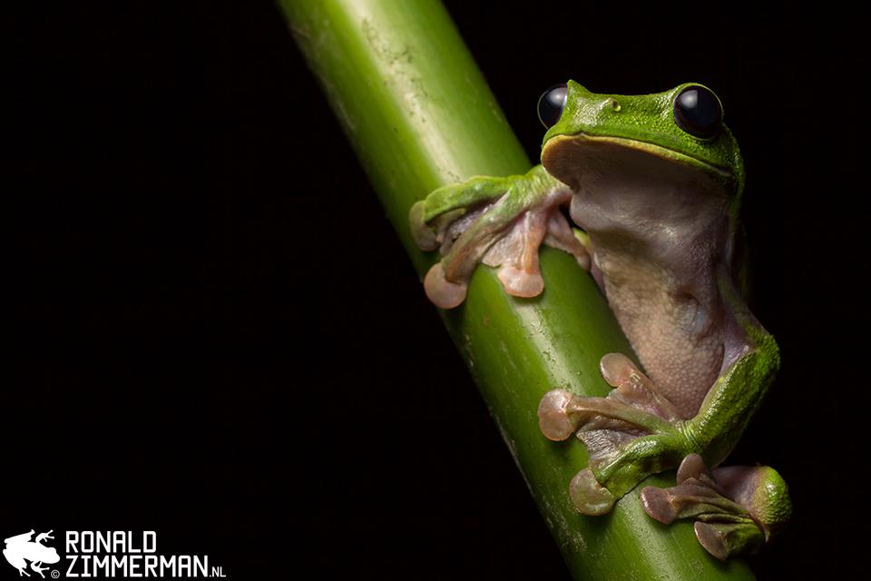 Ronald Zimmerman, Gliding Treefrog (Agalychnis spurrelli), Ecuador