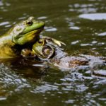 On the Brink of Extinction: Preserving the Frog Population in the State of New York