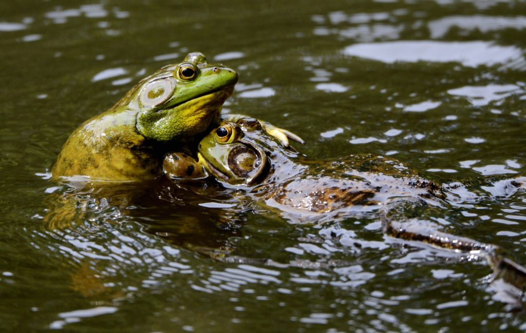 Bullfrogs - Photo by Ken Goulding on Unsplash