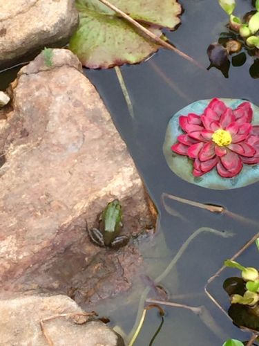 2-Backyard-frog-2015-winner-Kristin DeAngelis