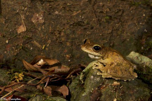 Nic Crampton, Green Eyed Tree frog, Litoria serrata, Queensland, Australia