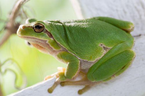 4-Common-Tree-Frog-2015-winner-Uwe