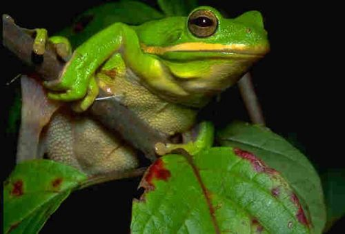 Green Tree Frog at Sage Hill Farm in Tennessee
