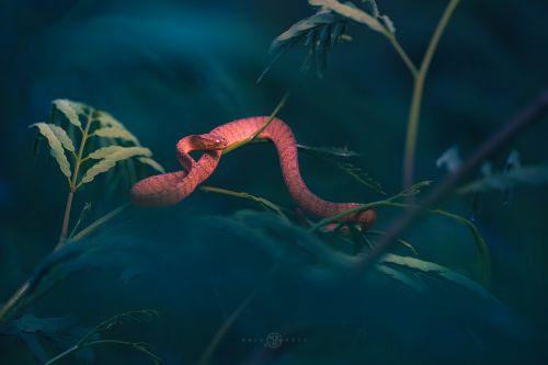 1st Place, Keeled slug eating snake, Pareas Carinatus, photographed by Kris Bell
