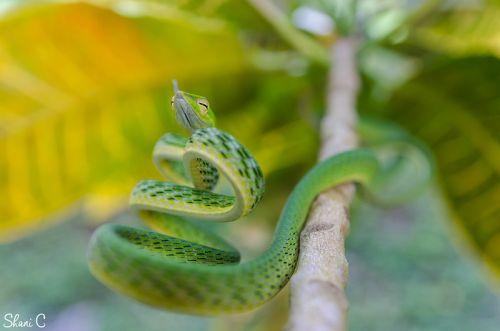 2nd Place, Asian Vine Snake, Ahaetulla Prasina, photographed by Shani Cohen
