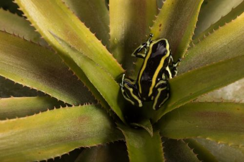 Juan David Fernandez, Dendrobates truncatus (yellow-striped poison) frog