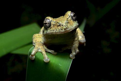 Melville Osborne, Gray Tree frog, NJ