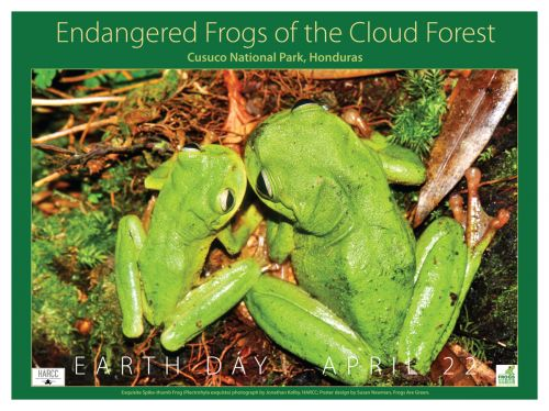 Exquisite Spike-thumb Frogs of the Cloud Forest in Honduras. Photograph by Jonathan Kolby of HARCC.
