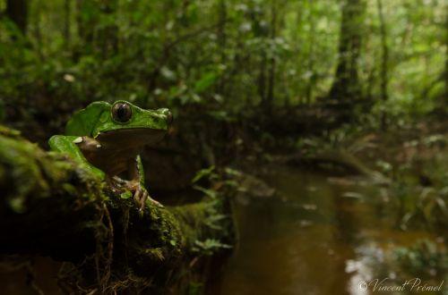 1-Giant Monkey Frog by Vincent Premel