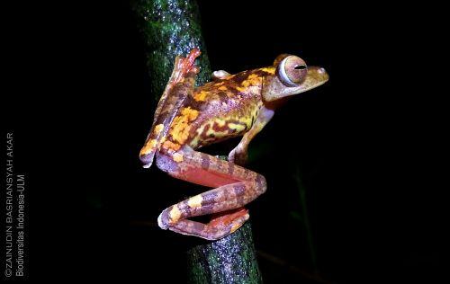 Harlequin Tree Frog (Rhacophorus pardalis)-South Kalimantan, Zain Basriansyah