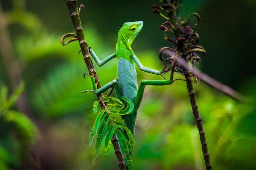 Maned Forest Lizard (Broncochela jubata), Farits Alhadi
