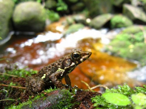 Mantidactylus species near Andasibe
