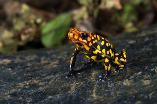 Sebastian Moreno, Oophaga histrionica, Colombia.
