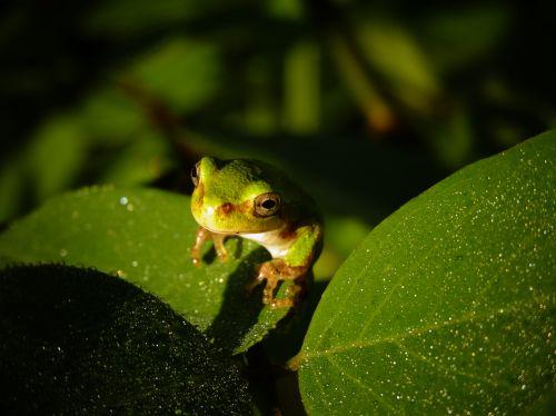 Hannah Sigler, Williamburg, Iowa, Tree Frog