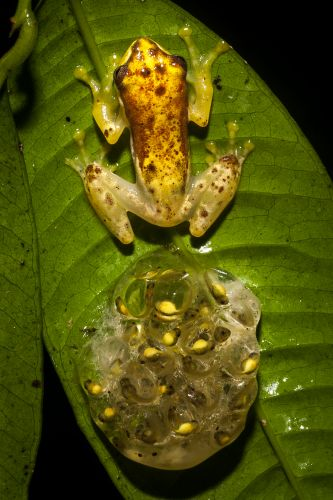 Farits Alhadi, Chiromantis vittiger, The male guarding his eggs until hatching, Indonesia