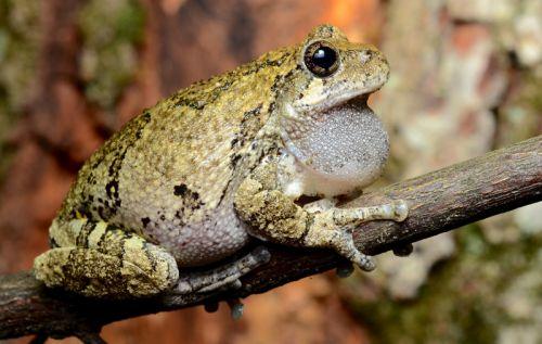 Melville Osborne, late season Gray Tree Frog, Roxbury Township, Morris County, NJ