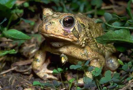 Eastern Spadefoot frog at Sage Hill Farm in Tennessee